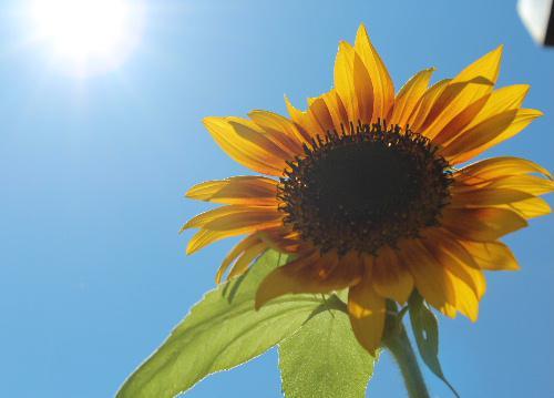 夏の暑さがようやく訪れたかのように今年も母の日ヒマワリと呼んでいるヒマワリが咲きました 十数年も前に母の日に大きな風船に入ったヒマワリと一緒にプレゼントが届き、種を採取し毎年咲かせています 遠い日の思い出をとどめる一つです/