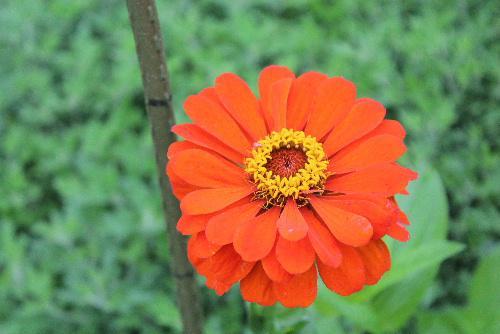 夏の花 ヒャクニチソウが赤、ピンク、黄色と様々な色の大倫から小輪まで花を咲かせ、花壇をにぎわしています夏から秋まで長期間咲き続け、「長命の花」という意味の浦島草の名前でも呼ばれています/