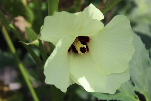 太陽が雲の間から顔を出し暑さが戻ってきました 農作業中の佐藤氏の畑に花オクラが咲いていました 花を食べるために改良された花オクラはどのように調理して食べるのだろうか そして味は?