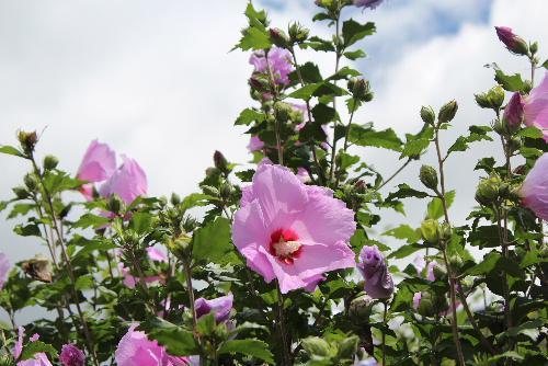 夏の花であるムクゲがあちこちに咲いています ハイビスカスの類なので花がとてもよく似ています 青空を背景にピンクや薄紫色の花が多いのですが白い花も見かけます