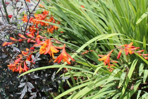 針金のような茎にグラジオラスを小さくしたようなオレンジ色の穂状の花が垂れ下がるように咲いています モントブレチアという花で「素敵な思い出」という花言葉があります
