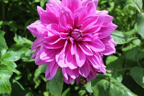 ダリアが咲いています 暑い日差しが戻り梅雨明けが間近でしょうか 30度を超える夏日となりそうです 8月1日には川西町のダリア園も開園しました 一度行ってみようかと思っています