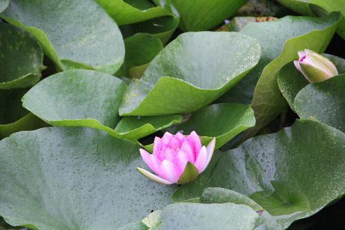 雨の中ハスの花がさいていました そばをカモが泳いでいます まだ咲き始めです 大きくなったら再度アップして紹介します ハスではなくスイレンでは/