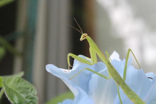 カマキリを見つけました 小さな昆虫ですが昆虫や小動物を食べる肉食昆虫です/