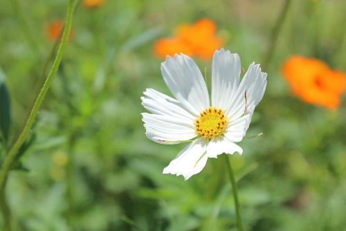 秋の花コスモスが咲き始めました お盆が過ぎると朝晩ぐっと涼しくなりますが 今年は暑い日が続きそうです /
