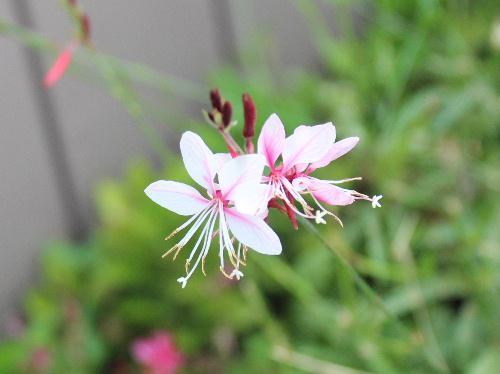 「ガウラ・リンドヘイメリ」と難しそうな名前がついた花のようですが 白い蝶が羽を広げて舞っているような花形から「ハクチョウソウ」ともいい、風にゆれる姿が涼しげです/