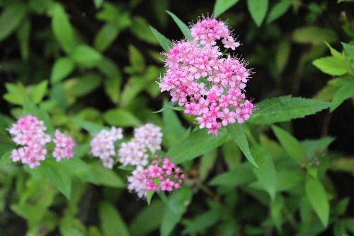 小さなピンクの花をびっしりとつけたかわいい花が咲いています 秋の花「フジバカマ」と葉も花も似ています/