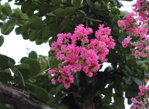 幹が滑らかで猿も滑り落ちるといわれる「サルスベリ(別名百日も赤く咲いているから百日紅)」が鮮やかなピンクの花を咲かせています 夏の花ですがかつて勤務した中庭に咲いている懐かしい花です/