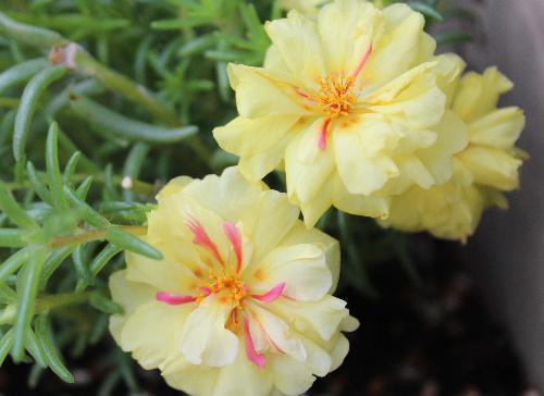 多肉質の葉が松葉に花はボタンに似ていることから「マツバボタン」という名がついています 背丈が低く夏から秋にかけて地面に這うように咲き花のじゅうたんのように花壇を彩ります/