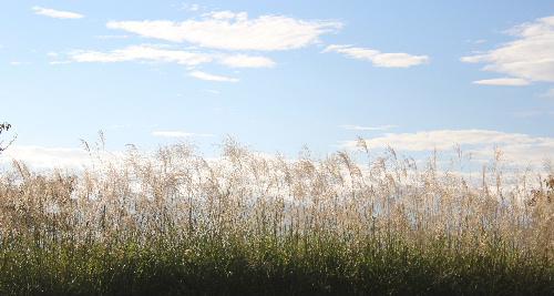 秋ですねえ。秋の雲が空に浮かびススキが朝日に輝いています ガマの果穂がふっくらと綿毛をつけています/