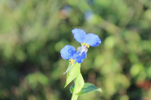 幸田露伴が「露の精のような草」といった道ばたや草地に生育している「つゆくさ」が夜露に濡れて咲いています 2枚の大きな花びらは鮮やかな青色、下の花は小さく白色です /