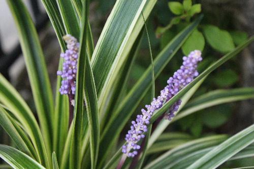 光沢のある細長い白い縁取りの観賞用の葉かなと思っていた「ヤブラン」に淡紫色の小さな花をびっしりとつけて庭に咲いています。/