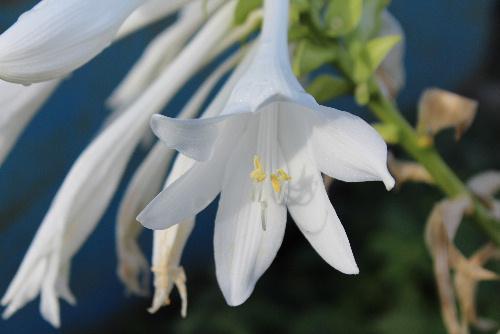 ユリの花のような白い首の長い 名前のわからない花が咲いています 蕾もたくさんついていますから秋の花でしょうか/