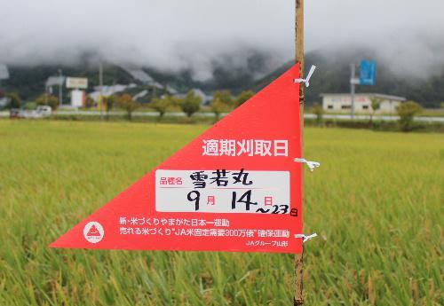 雪若丸の刈取適期の表示が黄色に色づいた田んぼに立てありました いよいよ稲刈りが始まります