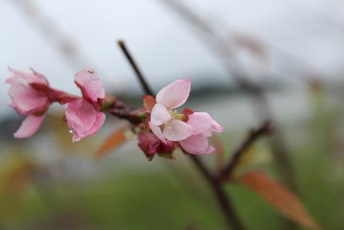 国道13号線に沿って植栽されている桜並木の一本に季節はずれの桜が咲いています 雨に濡れ弱々しい桜です 暑かったり涼しかったり雨が降ったりと桜も季節感をなくしてしまったのでしょうか/