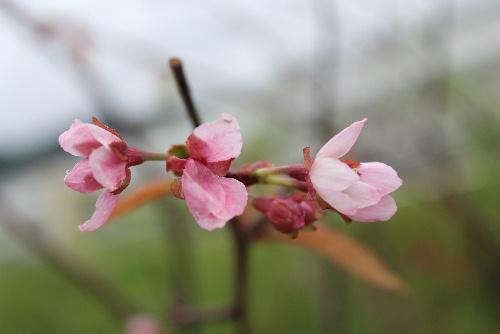 国道13号線に沿って植栽されている桜並木の一本に季節はずれの桜が咲いています 雨に濡れ弱々しい桜です 暑かったり涼しかったり雨が降ったりと桜も季節感をなくしてしまったのでしょうか