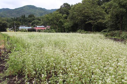 地元のケーブルテレビで紹介されていた市内元中山のそば畑の白い花を撮ってきました 小さな白い花がそばの実となってあの美味しい蕎麦となるこの不思議さを思いながら眺めてきました