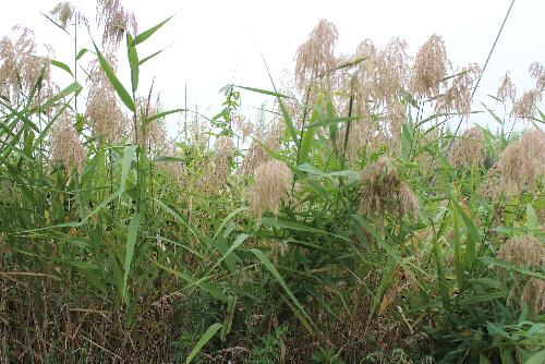 子どもの頃によく笛を造って遊びました 河原や川のそばの土手などにはえている「アシ(葦)」の葉で作りバラなどのトゲで止めてよく鳴らしたものです この画面で音を伝えられないのが残念です 秋になるとアシがススキの穂に交じって咲いています