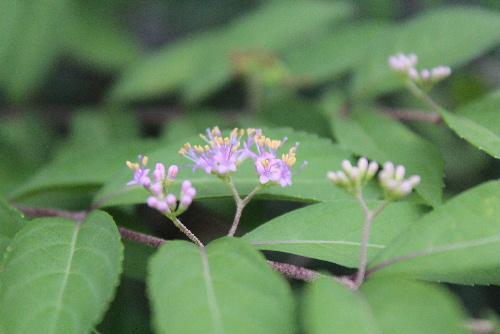 我が家の庭のムラサキシキブの花が遅ればせながら咲きました 先に咲いていた小さな花が実になっています いつになったら実が紫色になるのかなあ