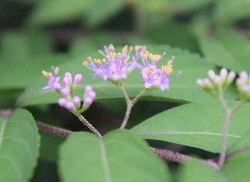 我が家の庭のムラサキシキブの花が遅ればせながら咲きました 先に咲いていた小さな実もなっています いつになったら実が紫色になるのかなあ