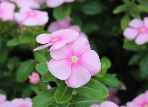 色とりどりの「ニチニチソウ」が一面に咲いています 暑い夏がウソのように涼しくなりました /