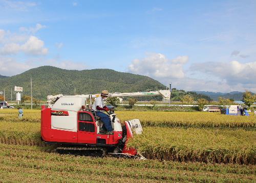 稲刈りが始まりコンバインの音が響きます 黄金色の田んぼと真っ赤なコンバインは秋の収穫を象徴する映像です/