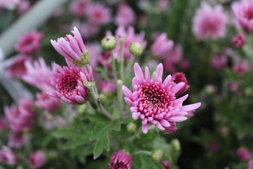 秋の花の代表「キク」は郷土食の一つでもあります「モッテギク」と呼ばれる薄紫色の菊のシャキシャキとした食感と香りは格別です/