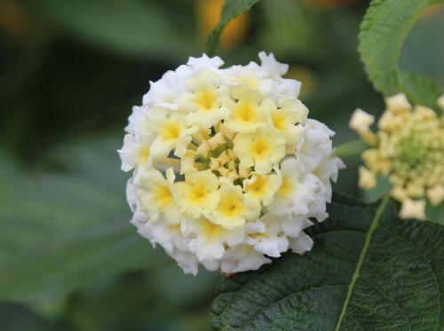 黄色と白の2種類の花をつけている「ランタナ?」が咲いています 咲き進むにつれて花色が変化するものもあるようです 「シチヘンゲ」という別名もあります/