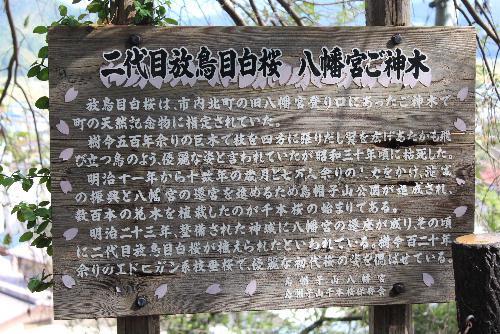 烏帽子山八幡宮の大鳥居のそばに「2代目放鳥目白桜」の看板があり、大きな桜木があります この桜木は樹齢500年を数える古い木で 江戸時代に描かれた「赤湯村温泉記」に記されいる赤湯七木の一つではないかと思われます