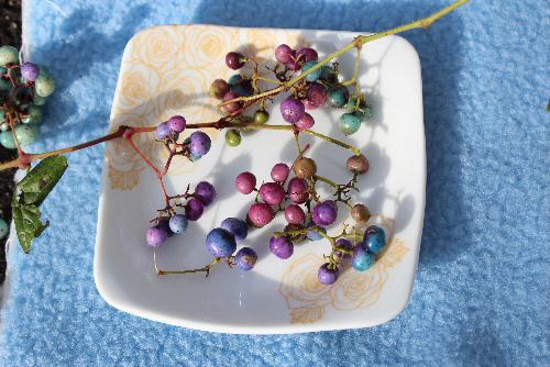 今日は「ノブドウ」の実を白い皿に盛りつけてみました ちょっと見ると美味しそうな野草のディナーですが 食べては美味しくない実です 道路のそばのあちこちになっています /