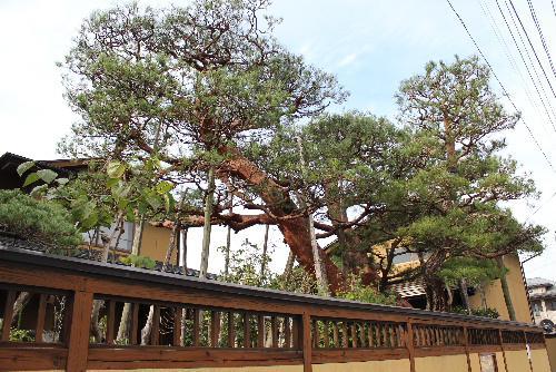 市内の長岡地区に江戸時代の一里塚の松があります 数百年の時を経て今に生きている貴重な松です 南陽市教育委員会に享保の絵図と呼ばれる絵図があり その絵図には米沢街道がしっかりと描かれれいます 歴史の重みを感じる松の木です/
