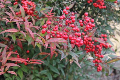 秋の色は赤でしょうか 南天の実が真っ赤に色づいています