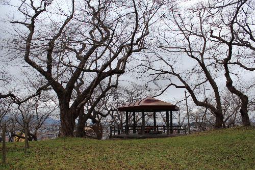 初冬の烏帽子山公園の桜の木がすっかり葉を落とし来年に咲く花芽をつけて厳しい冬を迎えようとしています 一本一本が巨木のようで桜の木の枝ぶりは葉が生い茂っていた時とはまた違った趣を感じさせてくれます