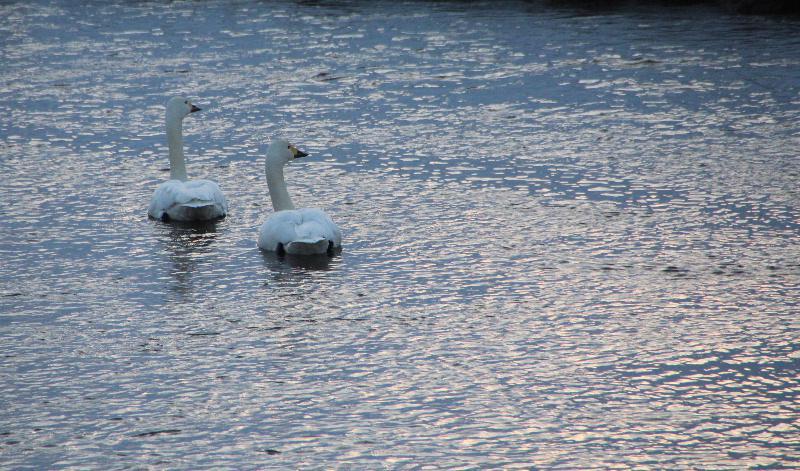 夕焼けに照らされた吉野川の川辺に白鳥が何かを見つけたように顔を揃えて見つめています 夕方になって餌を食べてきたであろう白鳥がねぐらに戻ってきたのだろうか仲良く川でやすんでいます