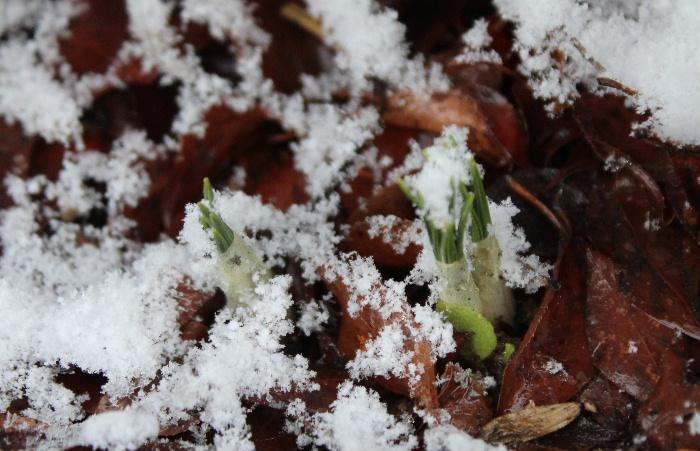 昨日の暖かさがウソのように寒い一日となりました 今も雪が降っています でも春の雪でしょうか気温が高いからでしょうか地面にはほとんど積もらず降ったさきから消えていきます 芽を出したクロッカスにふる雪もどかやわらかそうな感じがします 春の淡雪でしょうか