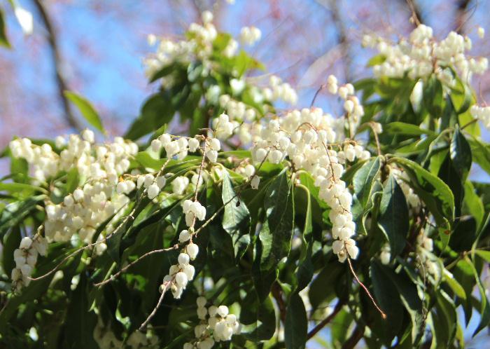 白いスズランのような花を付けている花木を見つけました 図鑑で調べてみますと「アセビ(馬酔木)」ではないかと思われます 葉は枝先に集まり互生したくさんの白い壺状の花がついています 有毒でその葉を煎じ殺虫剤に用いるとのことです 馬が食べると苦しむといい 馬酔木(アセビ)の名前が付いたといいます