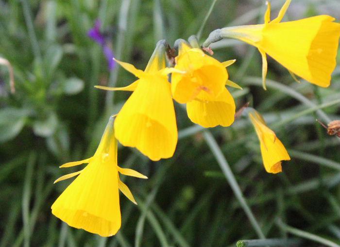 細長い葉をもち釣鐘状に咲いている黄色の花を見つけました どこにでも咲いているような花ですが図鑑で調べてみても名前がわかりませんでした 誰か教えて下さい
