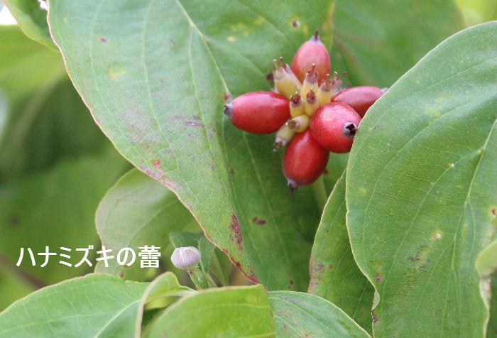 「ハナミズキ」に真っ赤な実が付きました その実のそばに来年花を咲かせる花芽がもう付いています 実を付け葉を色づかせて葉を落とし厳しい冬を迎えようとしています その傍で来年の準備をしているのです 毎年繰り返す自然の不思議な摂理です