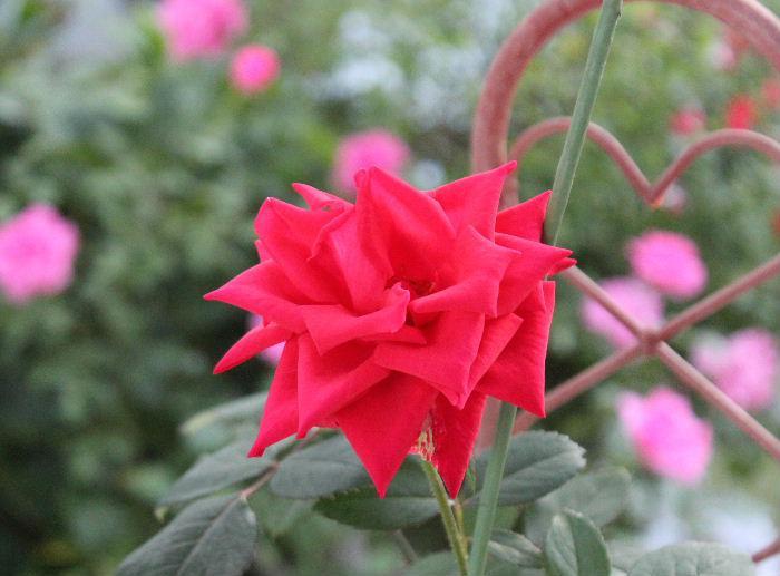 5月にもらったバラを挿し木したところ バラが根付いてビロードのような花びらの真っ赤な花を咲かせてくれました 四季咲きのバラでしょうか 挿し木したバラが根付いてくれたこともうれしいのですが花を咲かせてくれたこともとてもうれしいです
