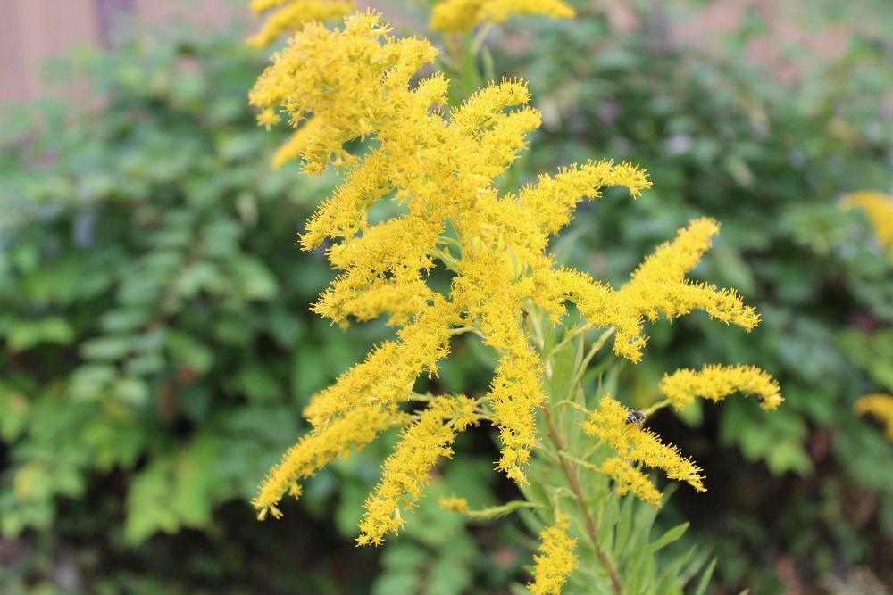 アメリカからの帰化植物「セイタカアワダチソウ」が道路脇や野原など至る所に 直立した茎に鮮やかな黄色の花を咲かせています 背丈が高く地下茎を伸ばし群落して咲いています 実を付ける頃に穂が泡立っているように見えるのでこの名前がついたのでしょうか 朝ドラの「おかえりモネ」のトップシーンに出てくる花が「セイタカアワダチソウ」でしょうか