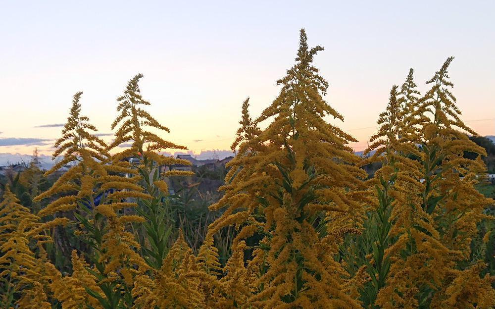 いつも散歩している道端に今年はいつになく「セイタカアワダチソウ」が群生しているような気がします 夕方いつもの道を散歩していると夕陽をバックに「セイタカアワダチソウ」が高山植物がごとく咲いていました おもわずカメラを向けて撮った1枚です 真っ黄色の昼の花とは違ってどこか寂しさを感じるのは私だけでしょうか