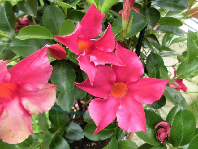 ★。★今年は、いっぱい咲いてくれてます・・・美蔵
