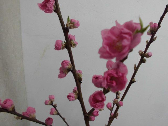 ★。★今日は、桃の花が満開になりました・・・美蔵