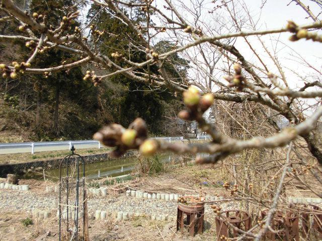 ★。★もぅ~スピードで桜の芽が膨らんでおります・・・美蔵