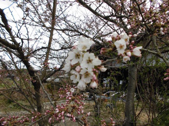 ★。★ぽちぽち咲いてきてます・・・美蔵