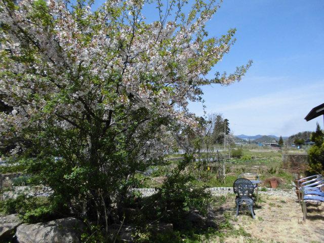 ★。★葉桜ですが、まだ桜がみれます・・・美蔵