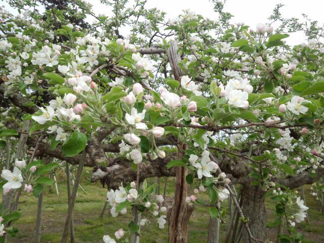 ★。★りんごの花が咲いてきました・・・美蔵
