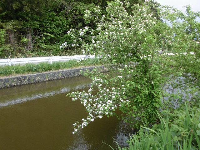 ★。★かりんの花が咲いてきました・・・美蔵