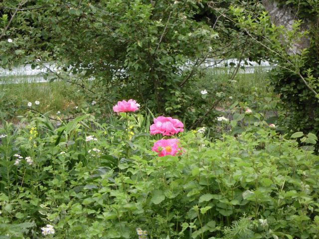 ★。★いつの間にか「クレマチス」が咲いてました・・・美蔵