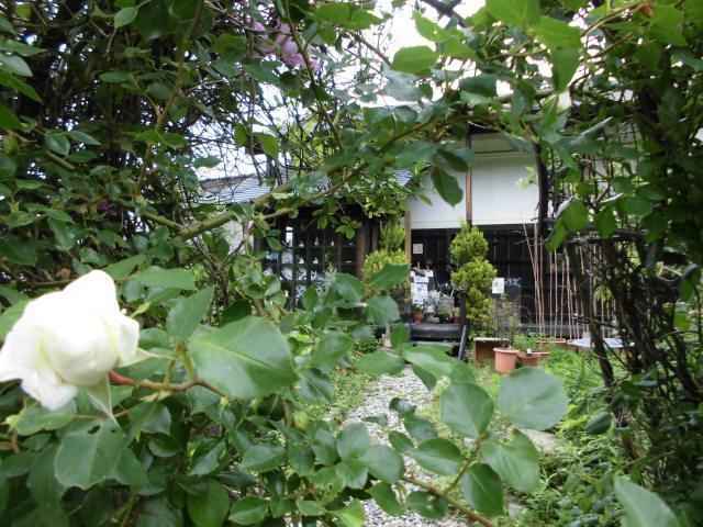★。★やっと!!「薔薇」が咲き始めました・・・美蔵